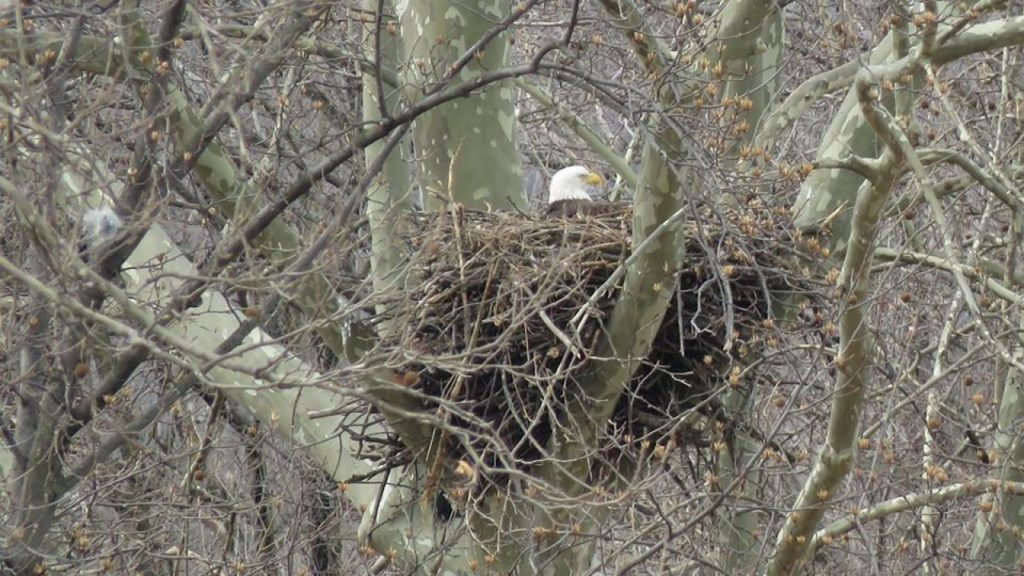 Bald eagles are nesting in Baltimore's restored Masonville Cove