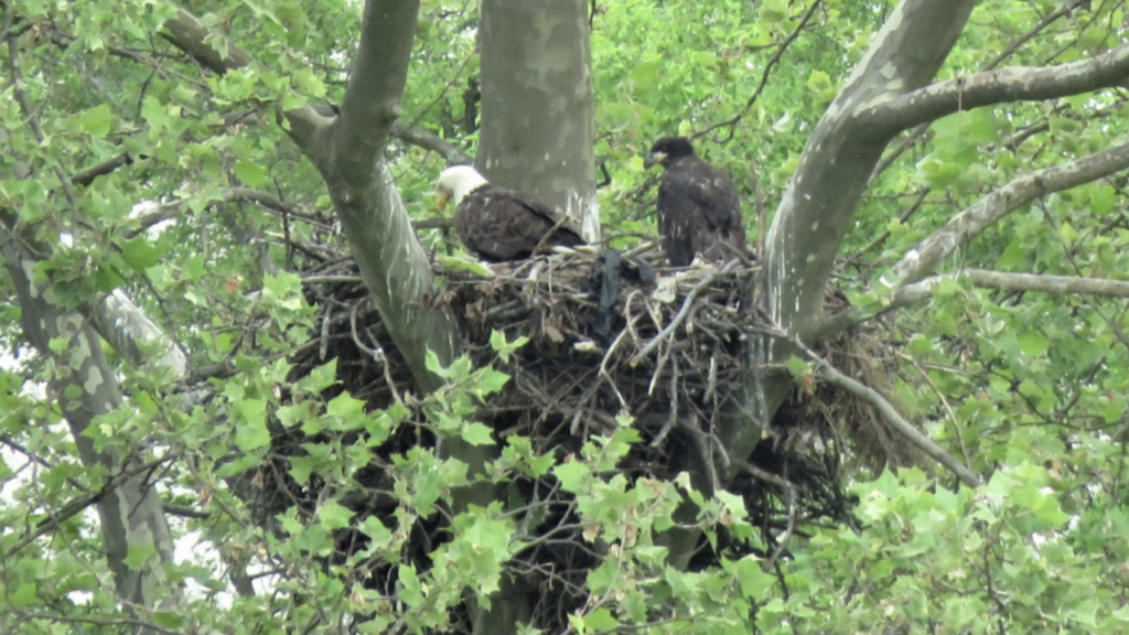Newly born eaglets can now be observed at Masonville Cove in Baltimore